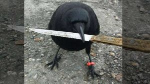 Picture of Canuck the Crow