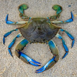 Blue Crab - Sign of Cancer