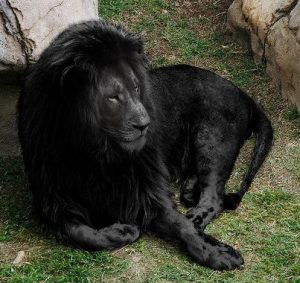 Black Lion Leo Sign